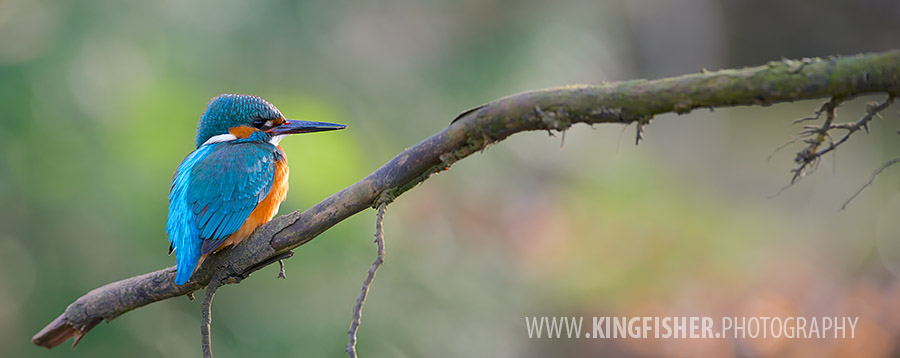 Kingfisher in a panorama setting