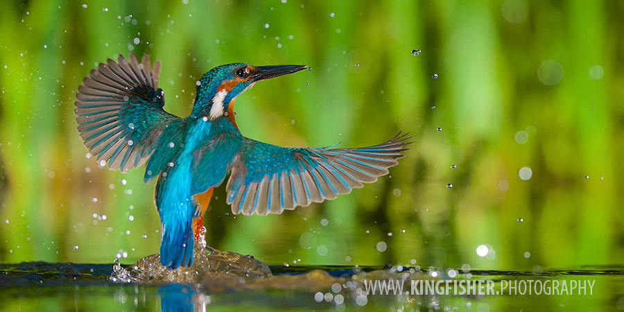 Kingfisher emerging from the water in panorama frame