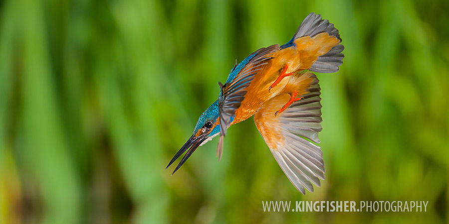 Kingfisher diving in the water in panorama frame