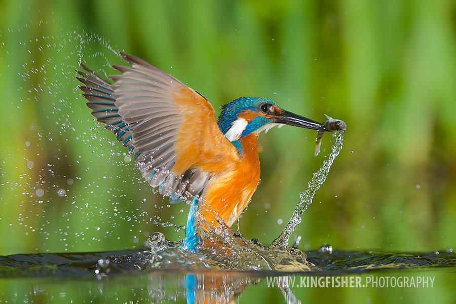 Actionshot of a common kingfisher catching a fish