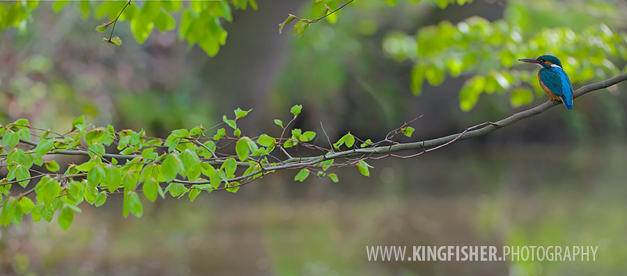 Kingfisher in a wide panorama shot in a beech with green leaves