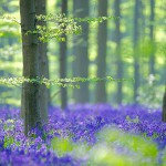 The stunning Hallerbos in Belgium end of April